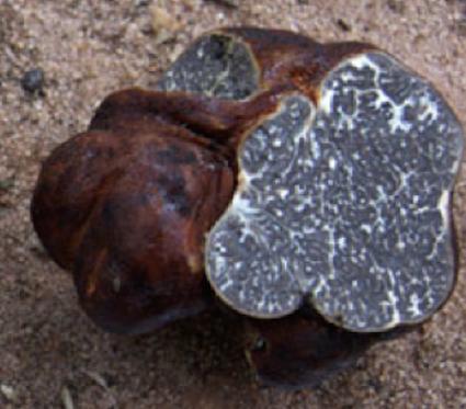 Tuber canaliculatum (the Michigan truffle)